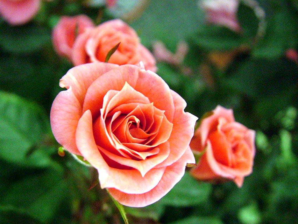 Cùng thưởng thức Video hình ảnh những loại hoa Hồng đẹp nhất thế giới